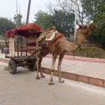 Kamel in der Parklücke