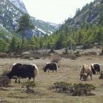 Erste Yaks im Horchgebirge